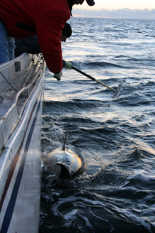 Atlantic Bluefin Tuna Tagging